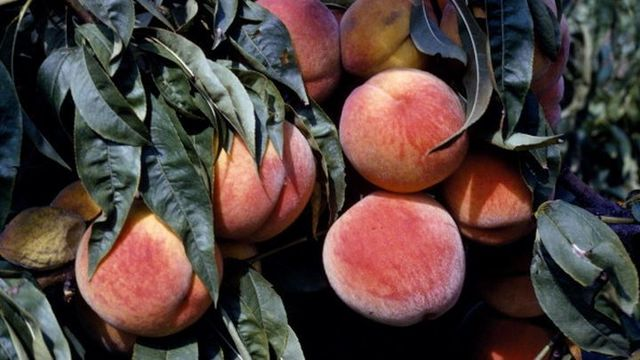 Missouri Peach Farm Sues Monsanto Over Pesticides