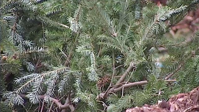 new life for old christmas trees fish habitat - What To Do With Old Christmas Trees