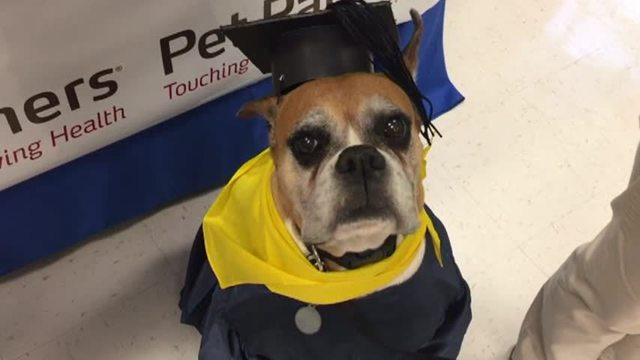 Therapy Dogs Graduate with Caps and Gowns in Mississippi